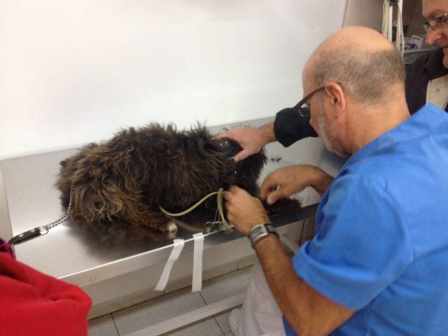 Enric Bladé practicant una extracció de sang