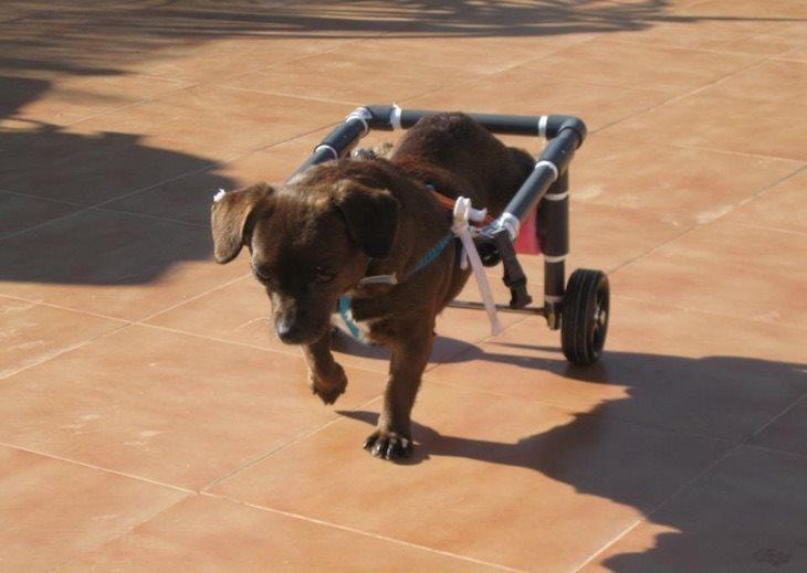 Aquest gos no pot caminar amb les potes posteriors, el seu propietari li ha fet una cadira de rodes perquè pugui sortir al carrer per socialitzar-se amb altres gossos i amb persones.
